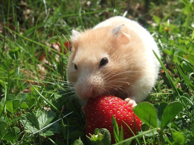 Les calculs dans le hamster et l'utilité des suppléments